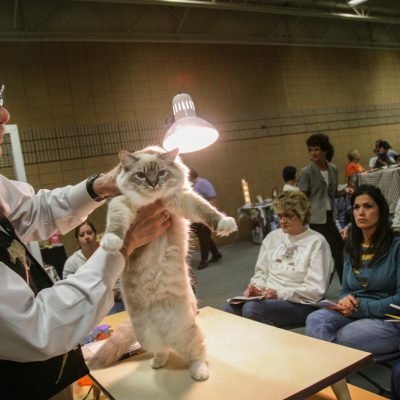 Judge Dewane Barnes of Palatine, IL looks over Suzie Q, a 7 1/2 month old Rag Doll kitten from Lansing at the Prairie State Cat Club Annual Fall Allbreed & Household Pet Cat Show at the The Centre at North Park in Franklin Park, IL . Photos for Pioneer Press by Vincent D. Johnson. Sat Oct 13, 2007.
